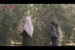 Warga Palestina Gaza sedang memanen Zaitun untuk musim 2018.