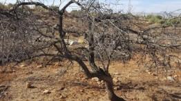 Warga Israel alirkan air limbah ke lahan zaitun warga Palestina