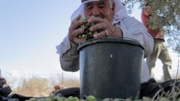 Panen zaitun lebih awal, petani di  Tepi Barat alami kerugian