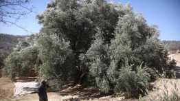 Akibat pembangunan tembok Israel, pohon zaitun terbesar di dunia terancam punah