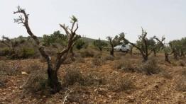 Lagi, militer Israel babat 200 pohon zaitun milik warga Khalil Palestina