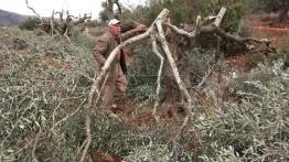 Warga Yahudi Israel membabat 200 pohon zaitun milik warga Palestina Neblus