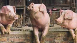 Populasi babi Spanyol lebih banyak dari manusia