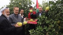 Menteri Pertanian: Dibawah tekanan Israel, Jalur Gaza mampu menghasilkan 37.000 ton berbagai jenis jeruk berkualitas
