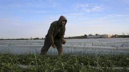 Israel hujani lahan pertanian Palestina dengan Herbisida