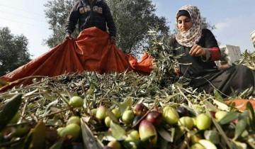 Meski ditentang beberapa pihak, Yordania tetap ekspor zaitun ke Israel
