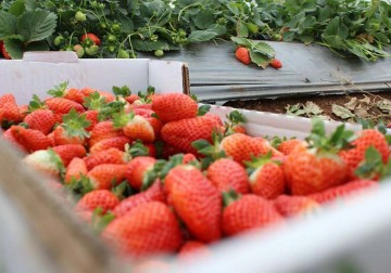 Petani Jalur Gaza Panen Strawberry