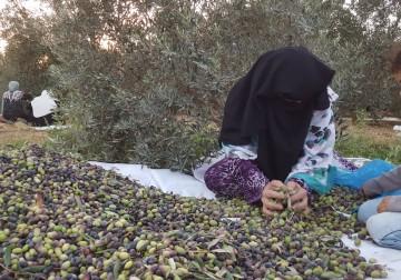 Zaitun Palestina diambang Kepunahan Akibat Penggusuran,Musim Panen