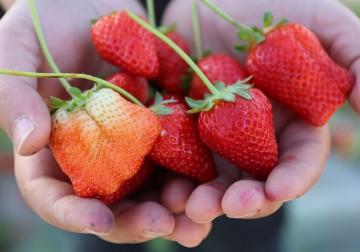Makanlah Buah Strawberry Sesuka Anda!