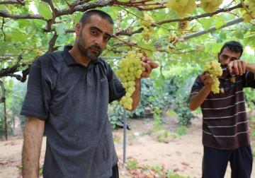 Saatnya Petani Jalur Gaza Panen Raya Buah Anggur Merah